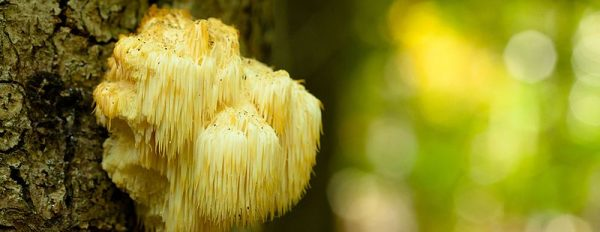 Lion's Mane: Mushrooms for the memory