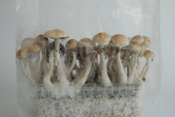 Eucuadorian Magic Mushroom Grow Kit