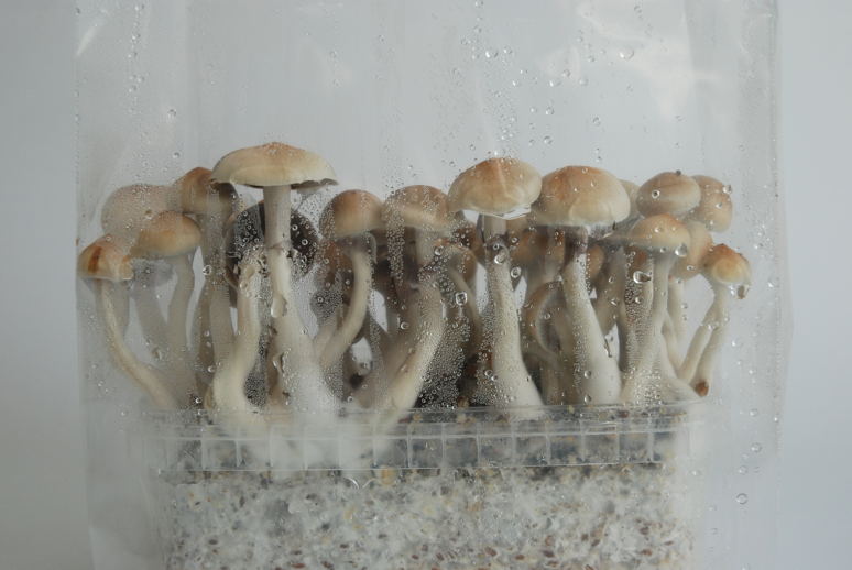 Eucuador Magic Mushroom Grow Kit