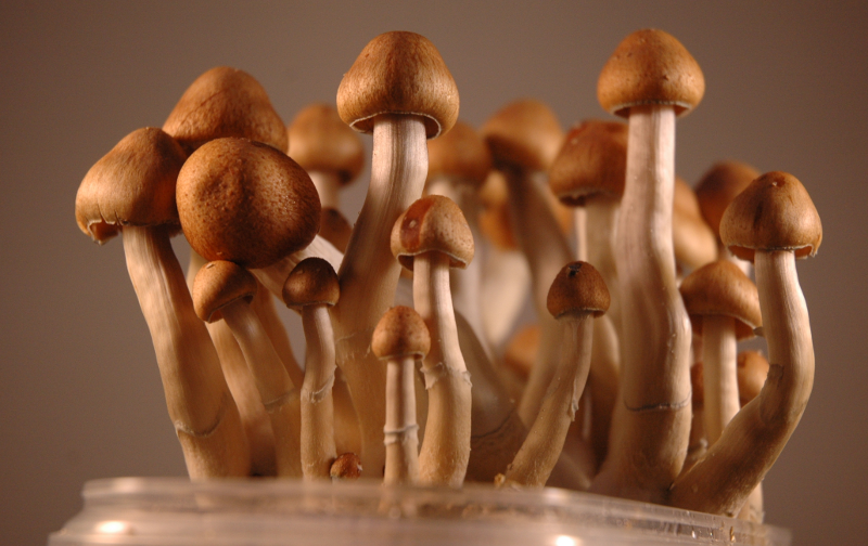 Ecuador Magic Mushrooms growing from a Grow Kit