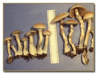 All you need to know about the Burma Magic Mushroom   Magic