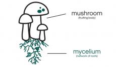 Mycelium: Understanding the roots