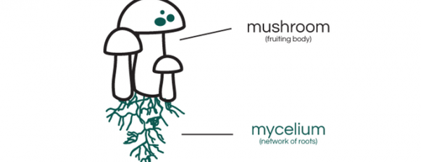 Mycelium: Understanding the roots