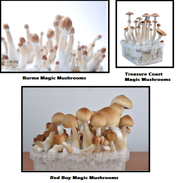 Magic Mushrooms Shop Strains of the month