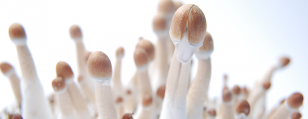 All you need to know about the Burma Magic Mushroom