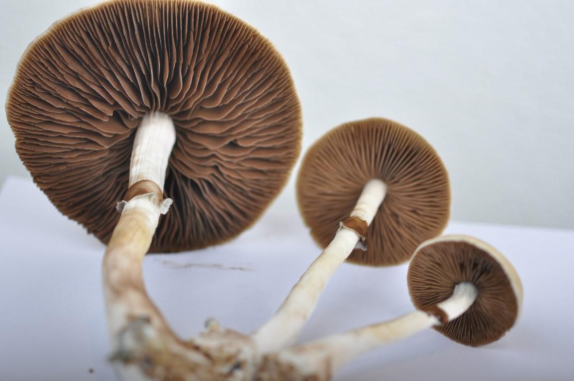 All About the Red Boy Magic Mushroom   Magic Mushrooms Shop Blog