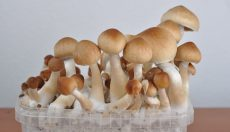 Magic Mushroom Photo Gallery