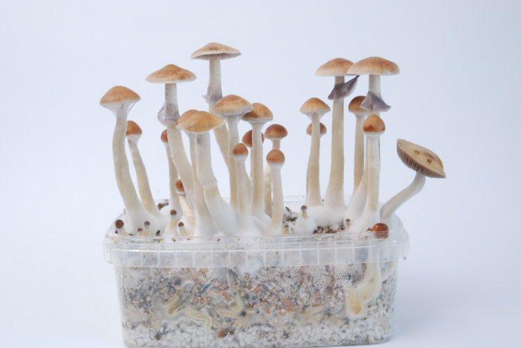 All you need to know about the Treasure Coast Magic Mushroom