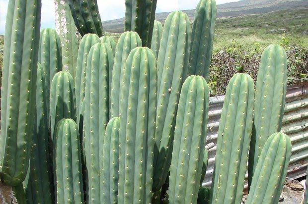 san pedro cactus magic mushroom