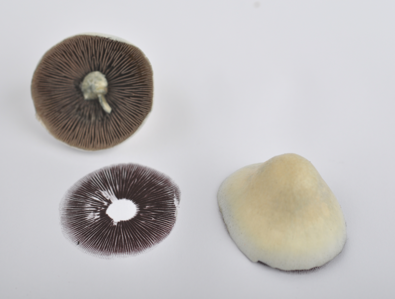 Growing Magic Mushrooms from Cubensis Spores: Q&A | Magic