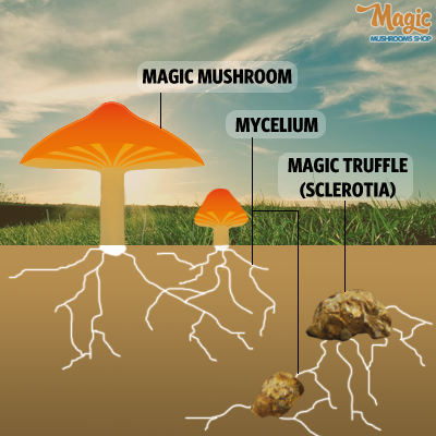 magic truffles growth