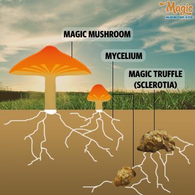 magic truffles growth