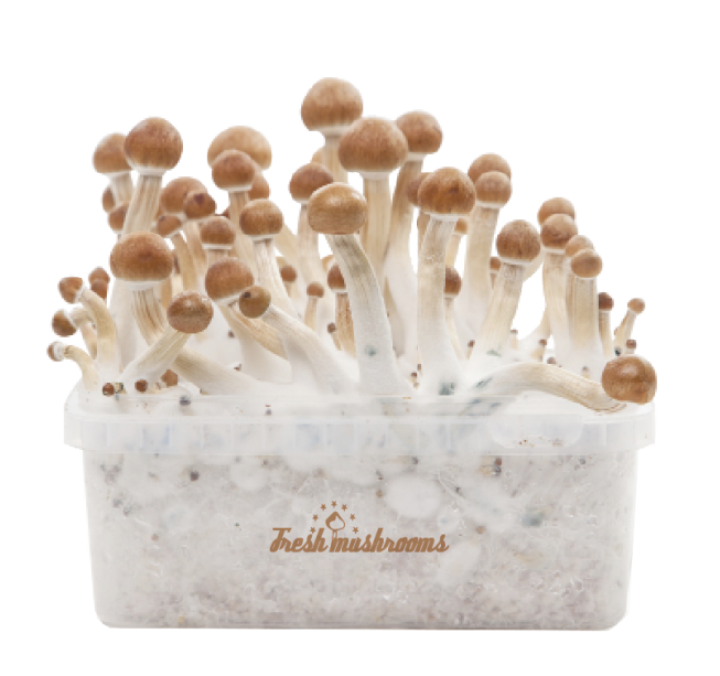 FreshMushrooms® 100% mycelium B+ Grow Kit