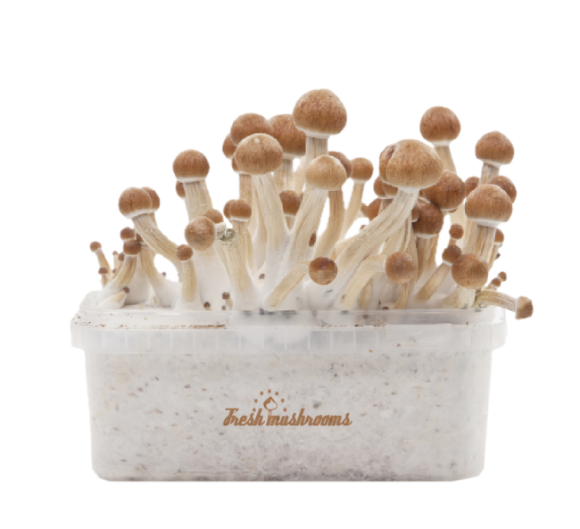 Fresh Mushrooms® Magic Mushroom Grow Kit Mexican XP
