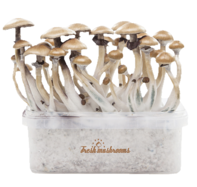 FreshMushrooms® Golden Teacher Grow Kit