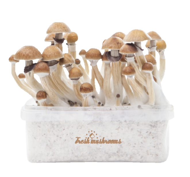 Freshmushrooms® McKennaii Grow Kits