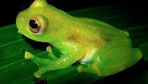 Amazonian Gian Leaf Frog
