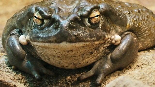 Sonoran Buffalo Toad