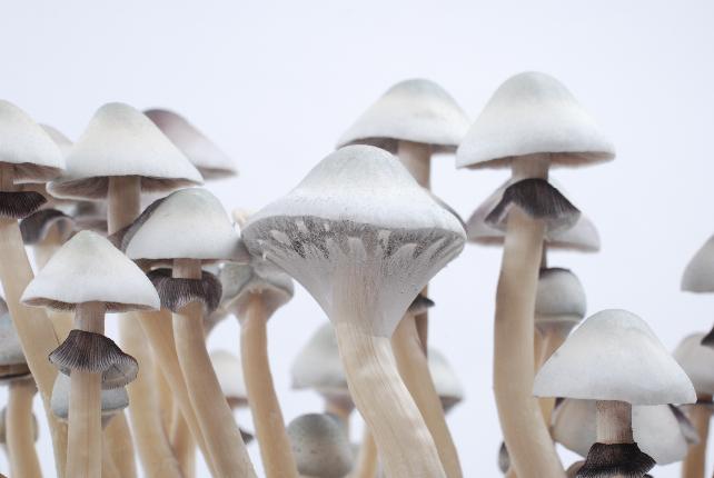 Photos of the Albino A+ magic mushroom grow kit - Grow your