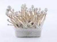 White A+ mushroom