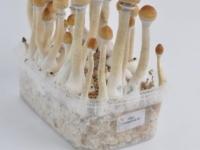 PESA Amazonian magic mushroom