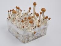 Magic mushroom kit extra large