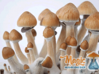 Ful box of magic mushrooms. Cultivated with a grow kit
