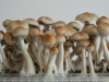 Grow kit Ecuadorian cubensis