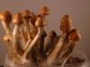 Small cluster of ecuadorian shrooms
