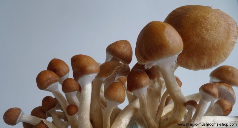 Photos of Golden Teacher magic mushrooms grow kit   Magic Mushrooms
