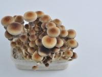 Mature golden teacher mushrooms
