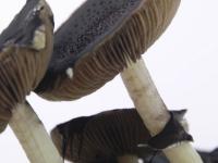 Magic mushrooms Spores