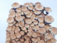 Hawaiian PES magic mushrooms