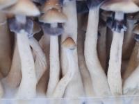 Magic mushroom grow kit Hawaiian PES