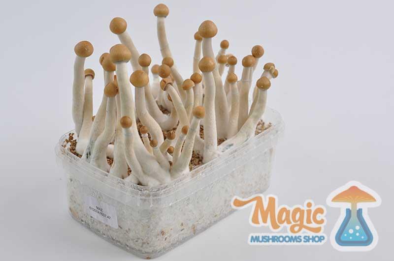 magic mushroom grow kit Magic Mushroom Growing Season