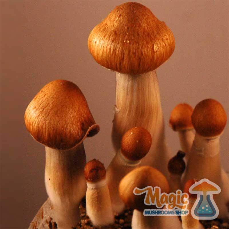 Photos of Mazatapec or Mexican magic mushrooms grow kit