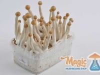 Image of Mexican/Mazatapec magic mushroom grow kit