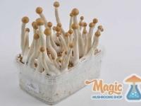 Image of Mexican/Mazatapec magic mushroom grow kit