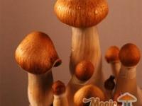 Detailed image of Mexican/Mazatapec magic mushrooms
