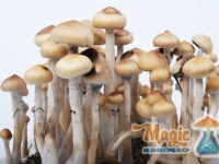 Full growkit of magic mexican mushrooms