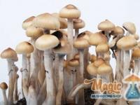 Full growkit of magic mexican mushrooms