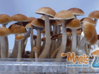 mushroom mckennaii  grow kit
