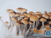 growing shrooms with a mckennaii grow kit