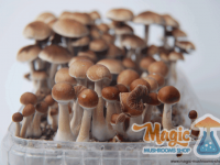 cubensis cultivation