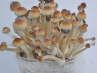 Orissa India magic mushrooms grow kit