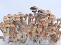 Magic mushrooms India orissa
